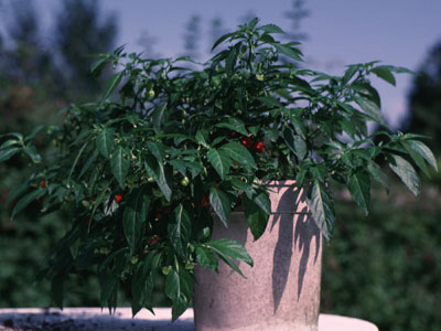 Potted Scotch Bonnet Plant